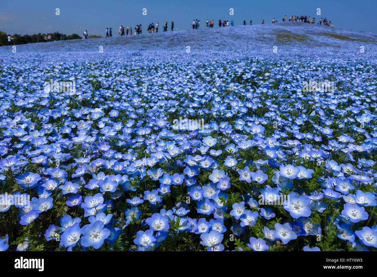 Baby Blue Eyes Flower Field Stock Photos & Baby Blue Eyes Flower ...