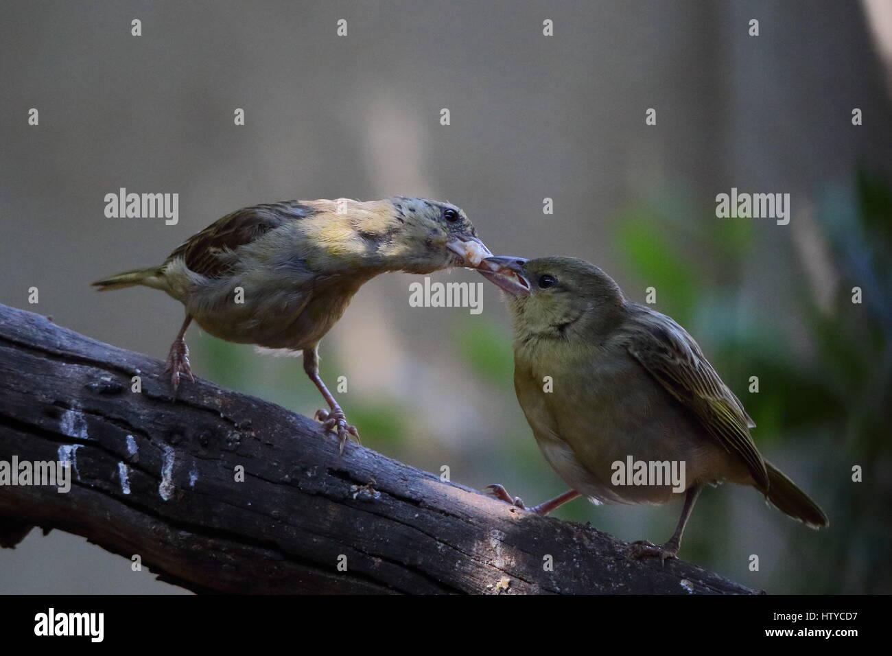 Motherhood - a female bird feeds its young - Stock Image