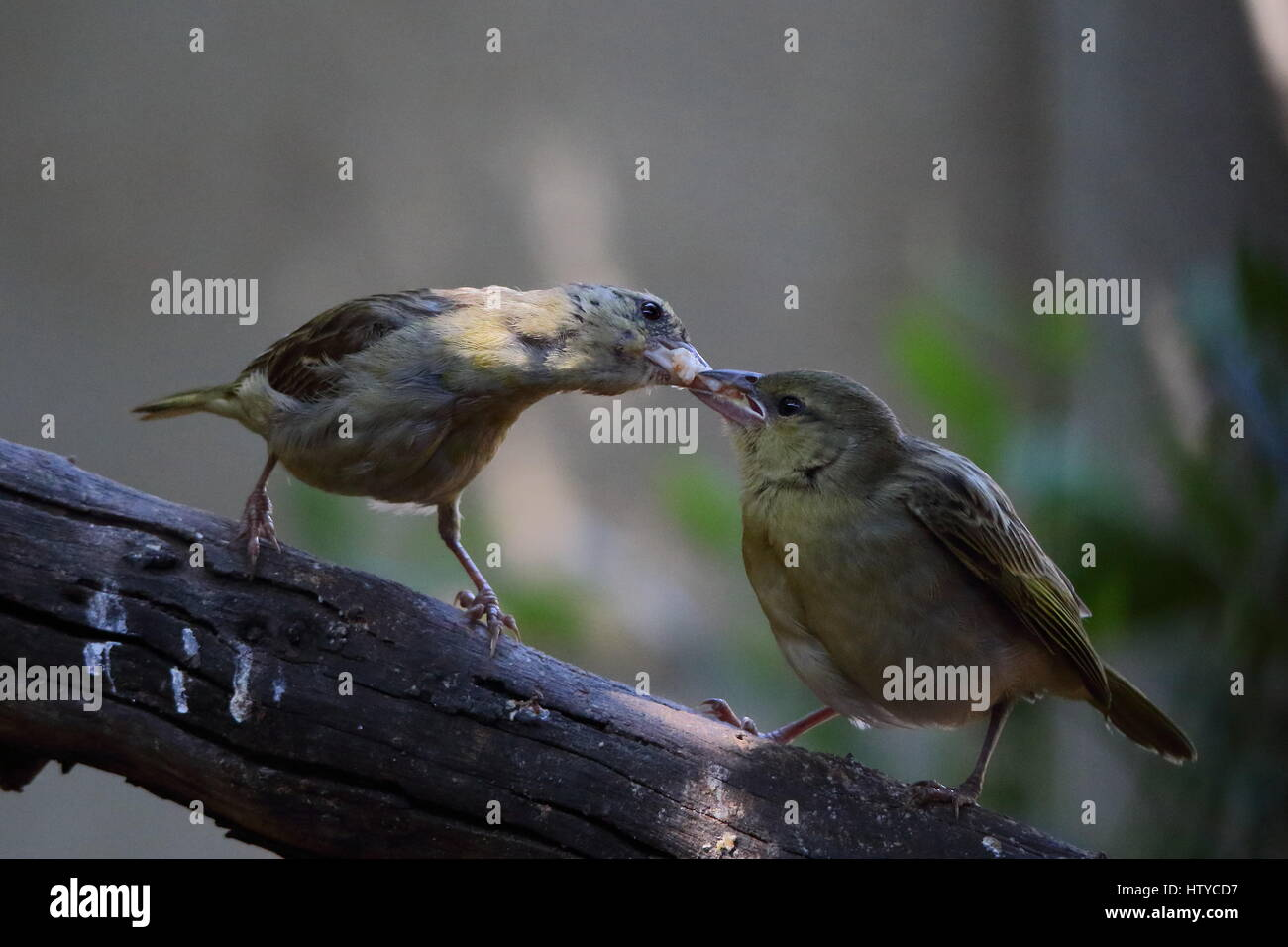 Motherhood - a female bird feeds its young image in landscape format with copy space - Stock Image