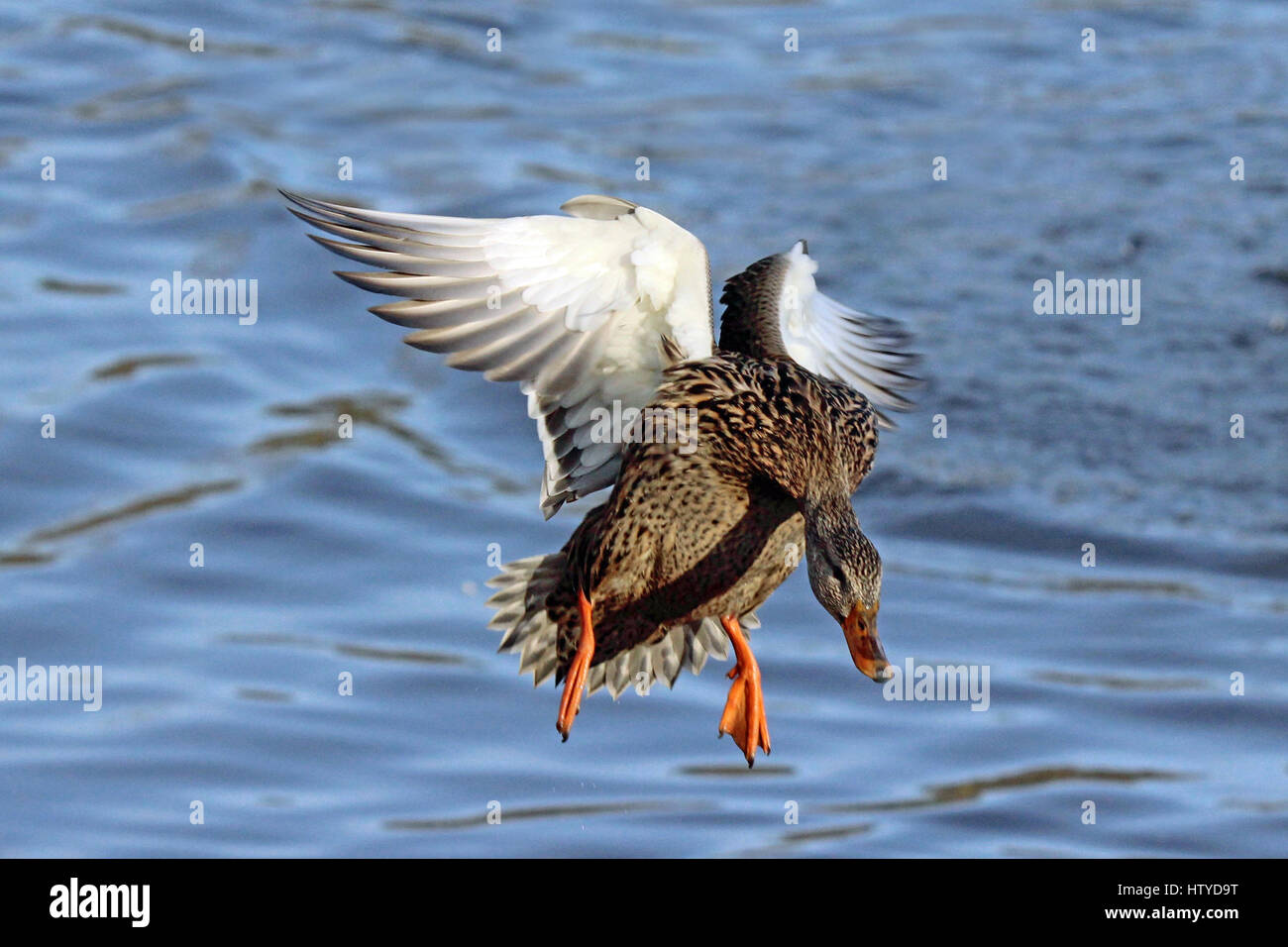 A Female Mallard Duck Flying In To Land On A Pond Stock Photo