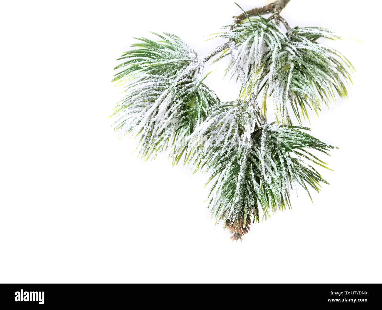Christmas evergreen spruce tree with fresh snow isolated Stock Photo