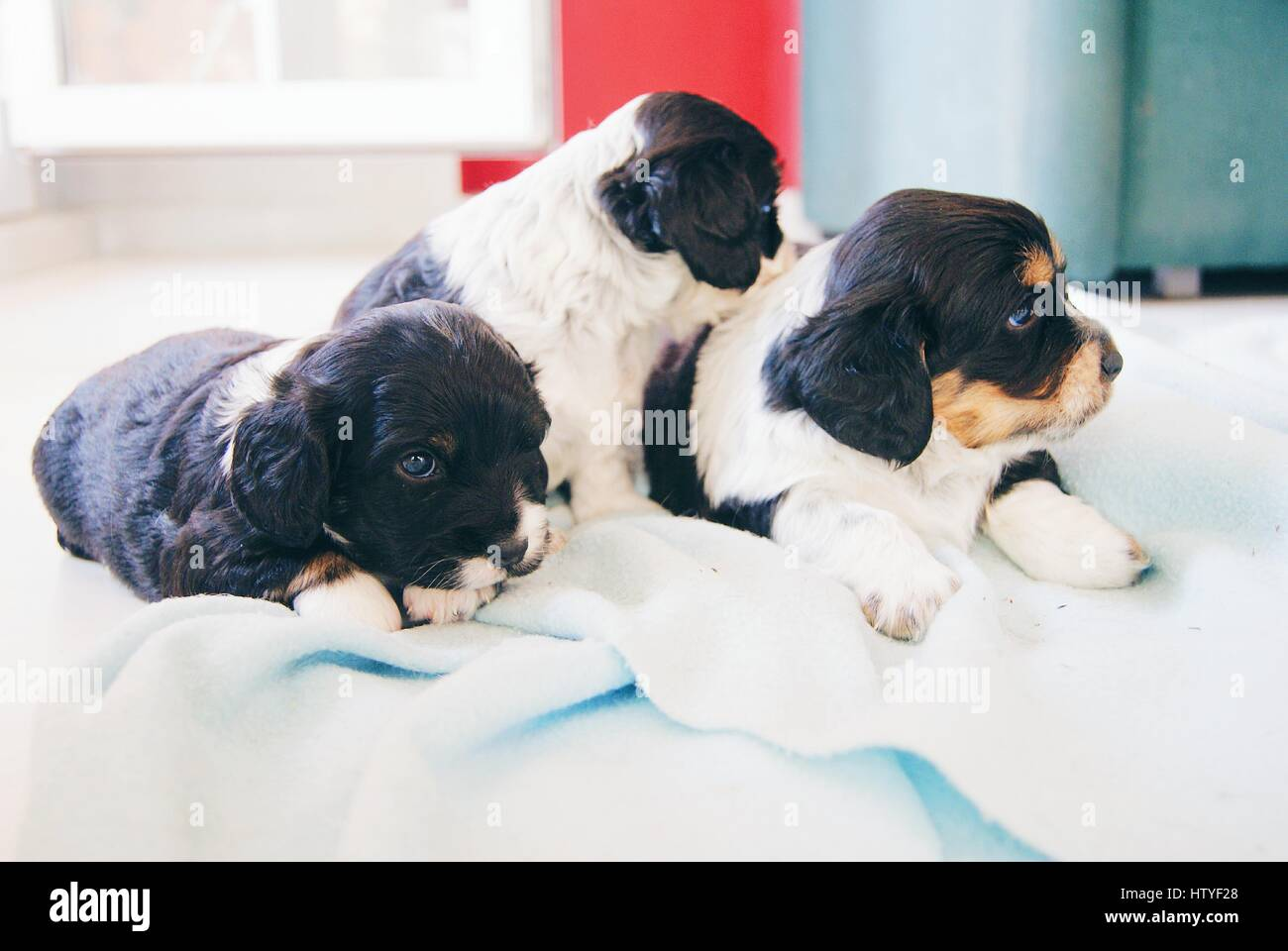 Three Cocker Spaniel Puppy dogs on a bed - Stock Image
