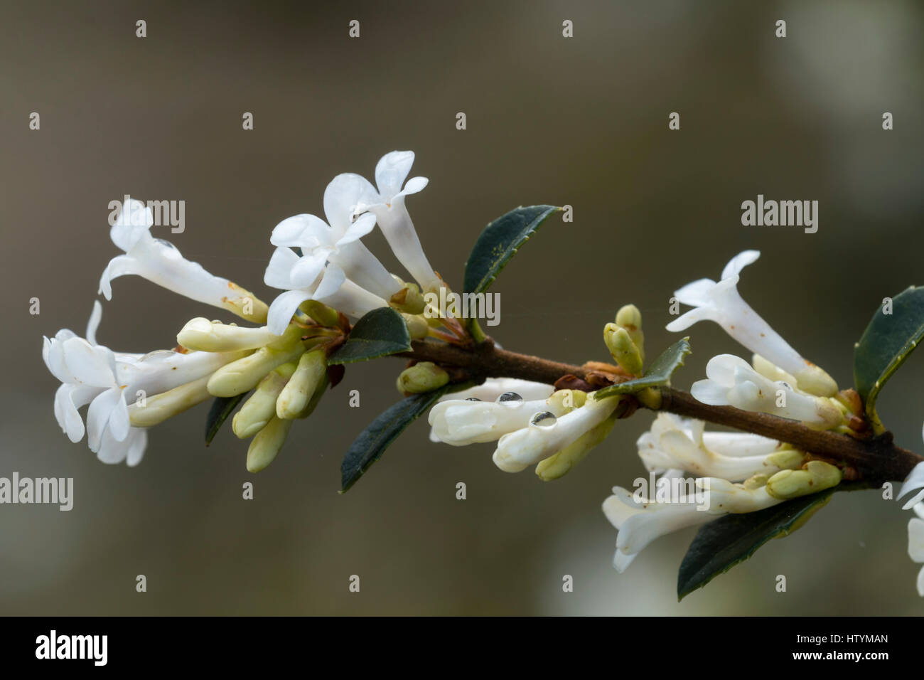 Fragrant white spring flowers adorn the drooping branches of the fragrant white spring flowers adorn the drooping branches of the evergreen shrub osmanthus delavayi mightylinksfo