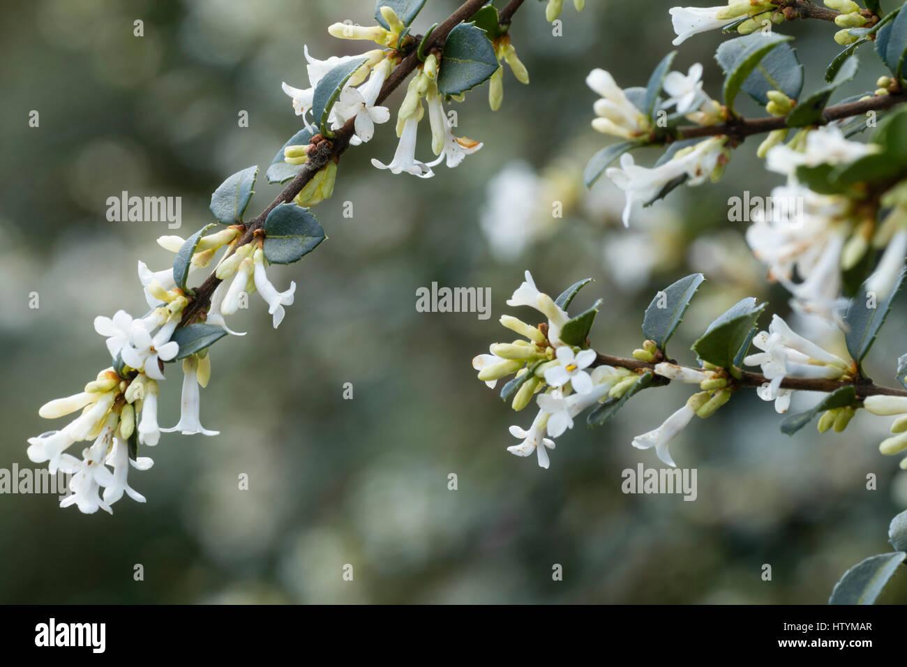 Fragrant white spring flowers adorn the drooping branches of the fragrant white spring flowers adorn the drooping branches of the evergreen shrub osmanthus delavayi mightylinksfo