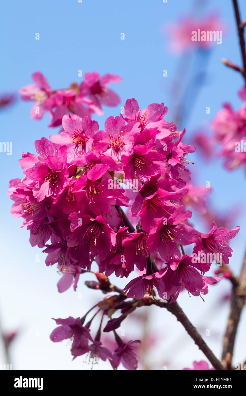 Single pink spring flowers of the flowering cherry tree, Prunus 'Collingwood Ingram' Stock Photo