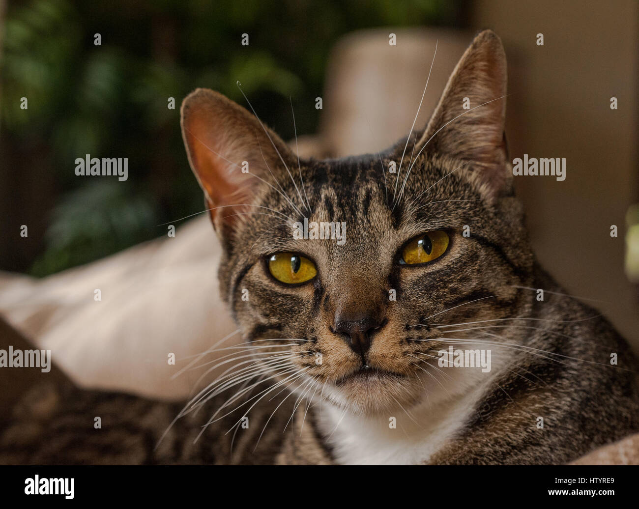 Gray White And Black Striped Cat Face Stock Photo Alamy