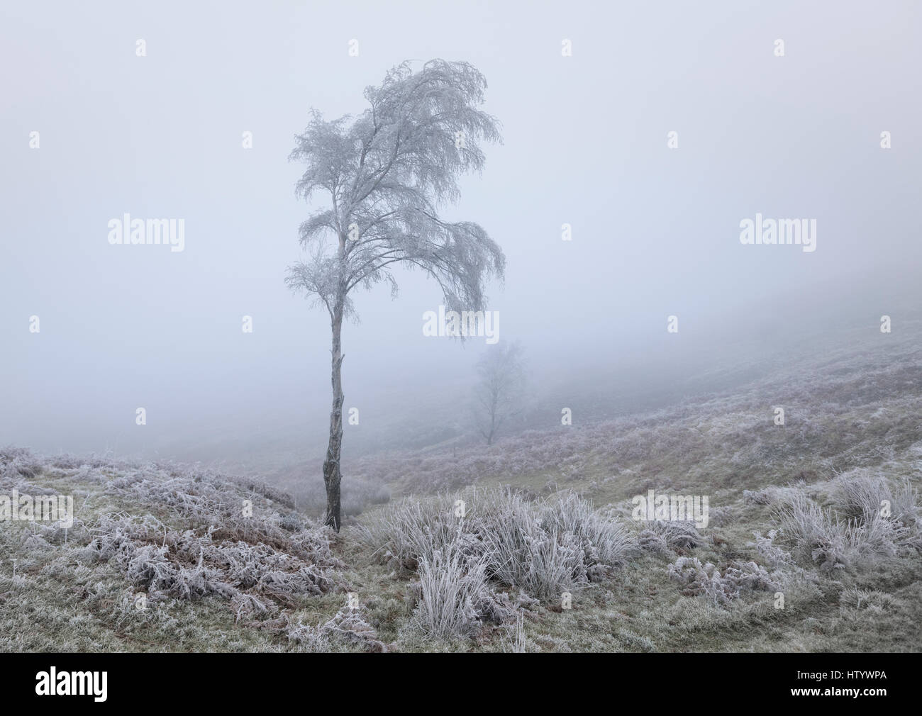 Hoar frost covered birch tree in winter landscape of freezing mist or fog - Stock Image