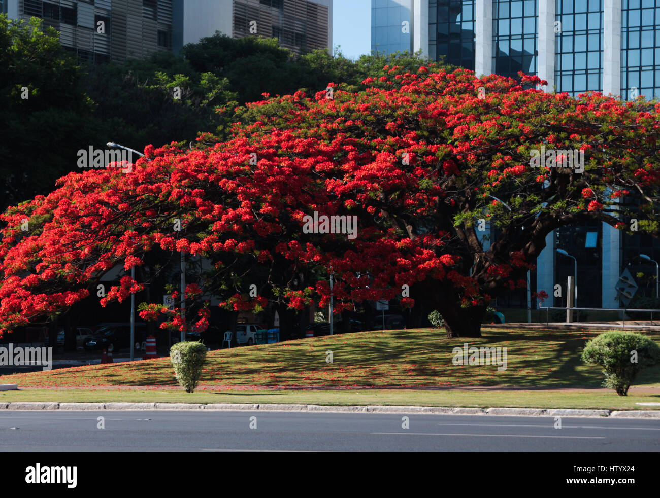 Brasilian Public Building: Flame tree at TJDF square, Federal district court of justice, Brasilia, DF, Brazil - Stock Image