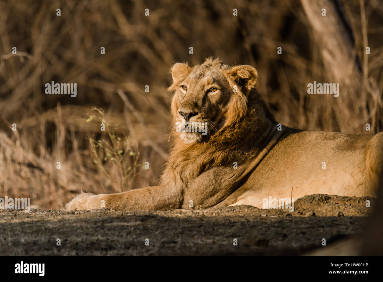 Asiatic Lion resting - Stock Image