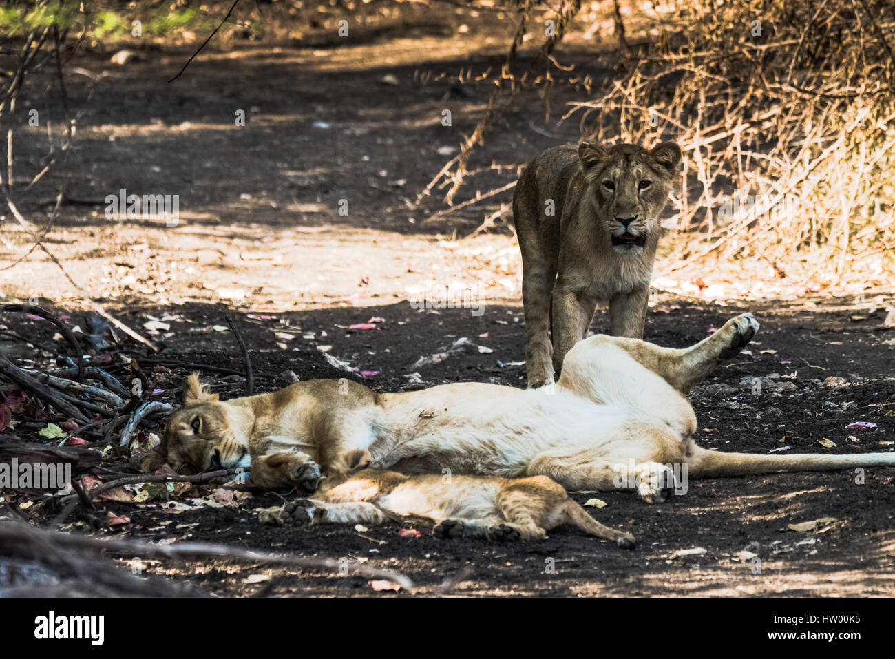 Asiatic Lion family resting - Stock Image