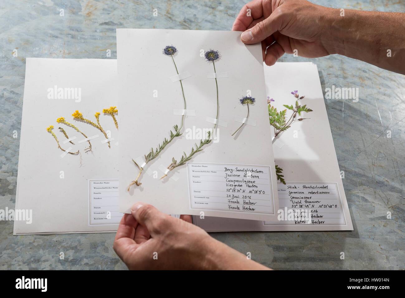 Fertige Herbarbogen, Herbarbögen werden zur Ansicht vorsichtig angehoben, nicht geblättert. Botanik, Botanisieren, - Stock Image