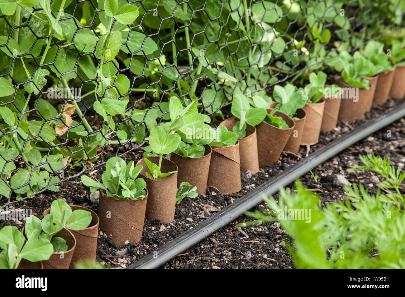 Snow peas seedlings with empty toilet paper rolls around them to protect from cutworms, in a garden in western Washington, - Stock Image