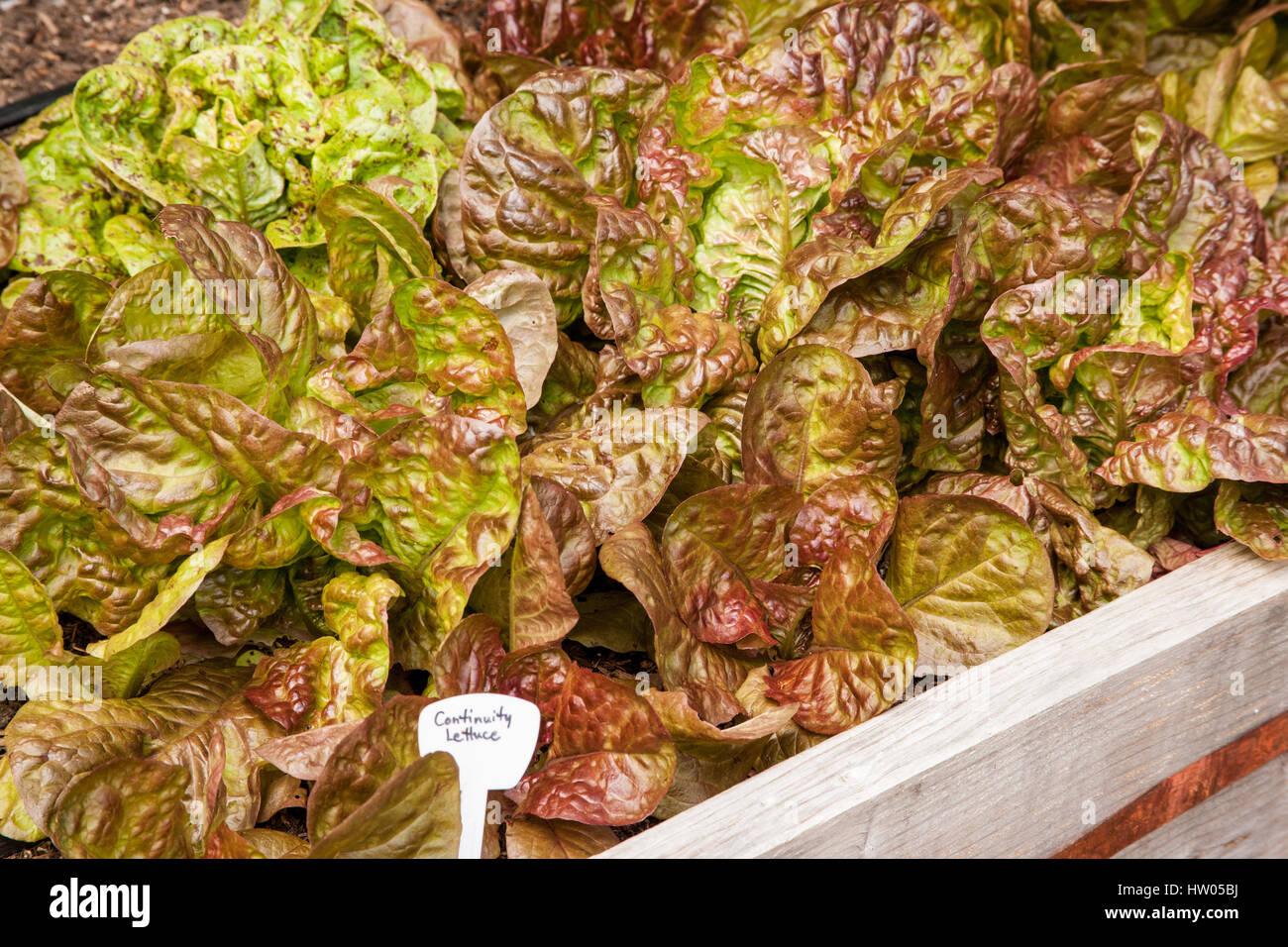 Raised Beds Garden Lettuce Stock Photos & Raised Beds Garden Lettuce ...