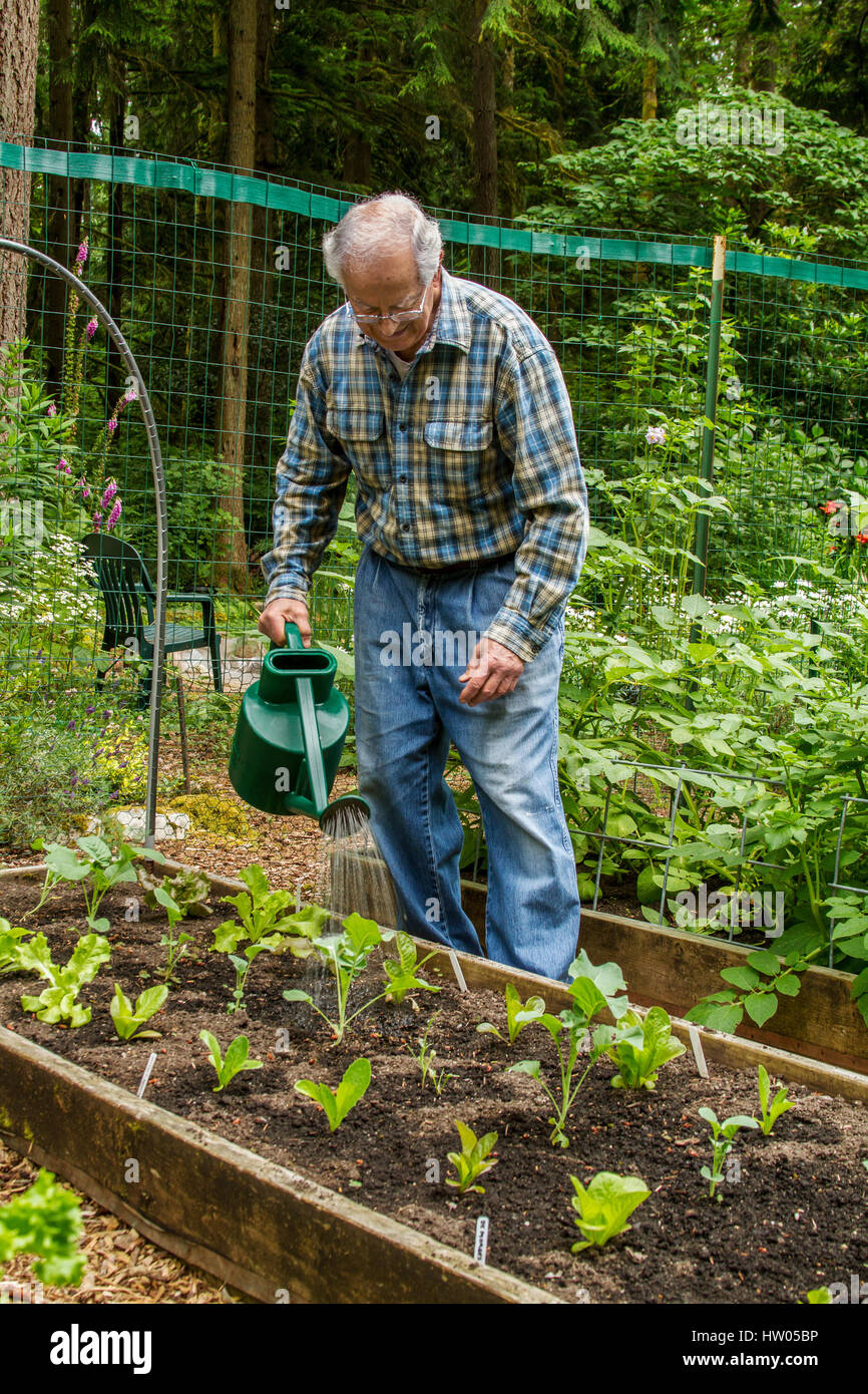 Man hand watering his lettuce starts in western Washington, USA - Stock Image