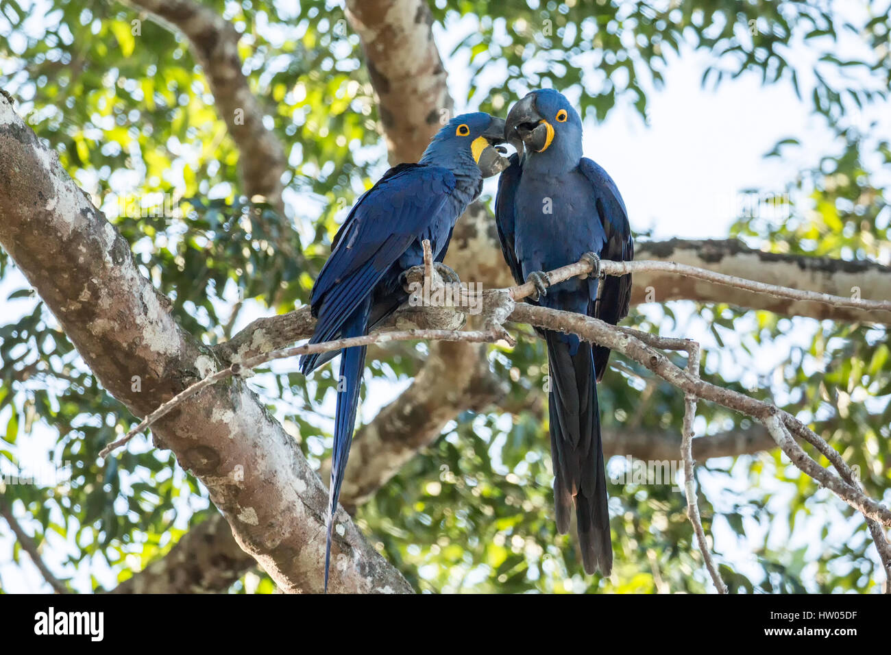 Mated pair of Hyacinth Macaws showing affection as they perch in a tree in the Pantanal region, Mato Grosso, Brazil, - Stock Image
