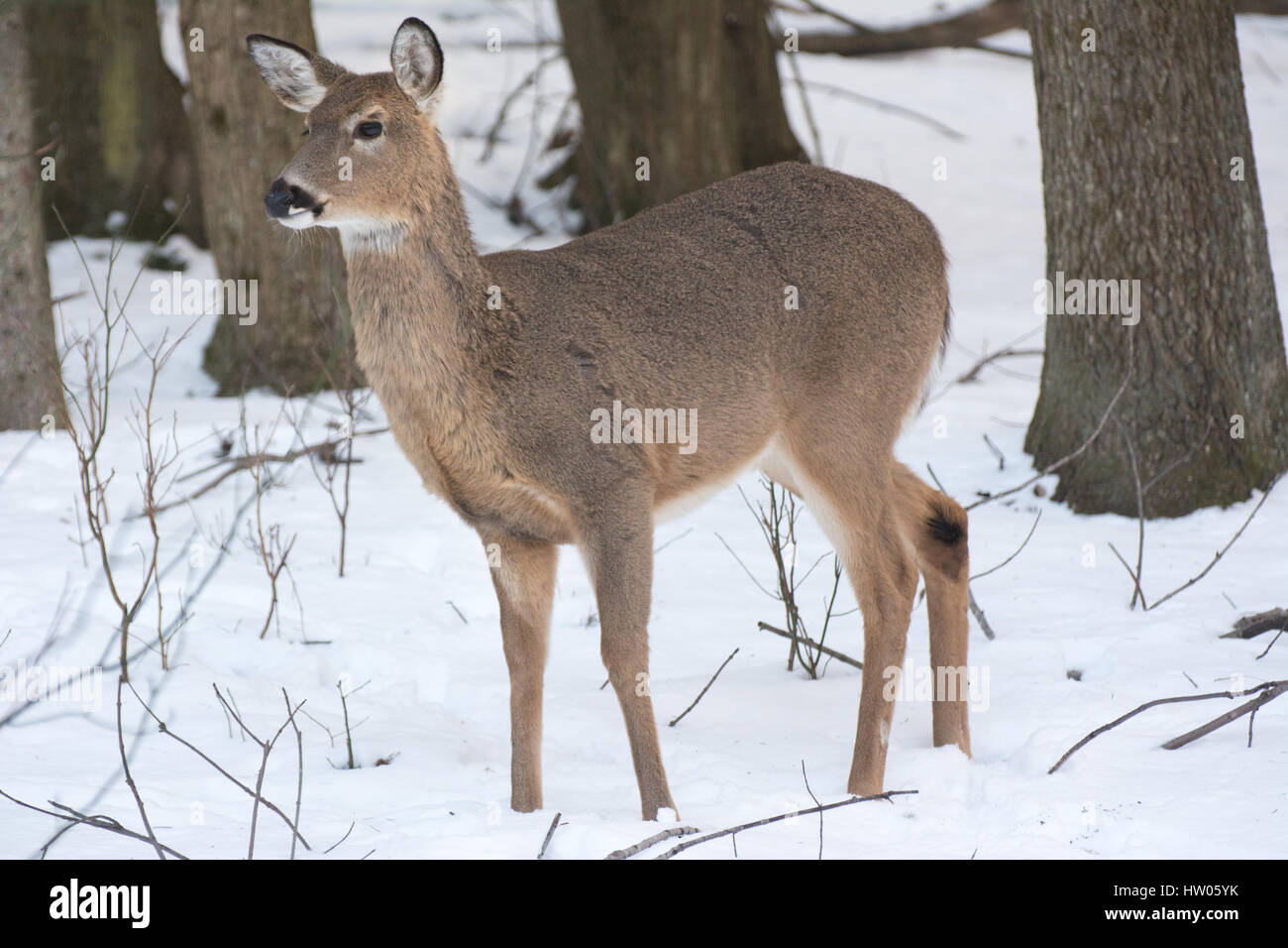 White Tail Deer in Pennsylvania in the winter Stock Photo
