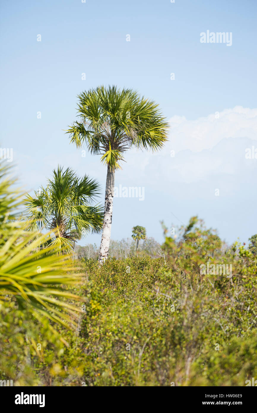 Palm trees and scrub in the Canaveral National Seashore, FL - Stock Image