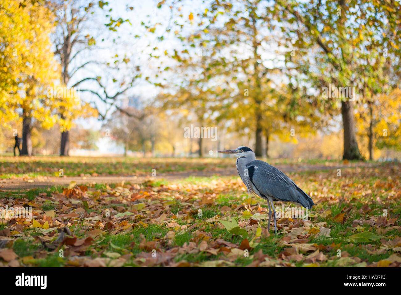 Heron in Hyde Park in Autumn London - UK - Stock Image