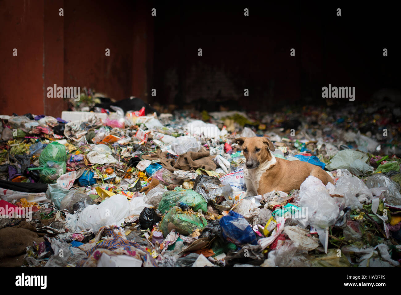 Dogs in garbage dumping grounds trash garbage in India - Stock Image
