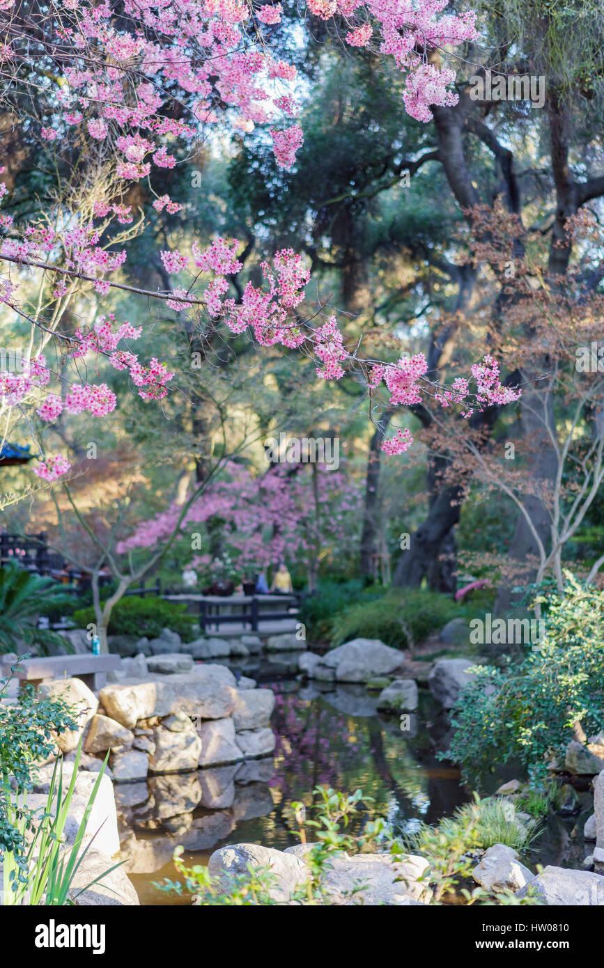 California cherry blossom stock photos california cherry - Descanso gardens cherry blossom festival ...