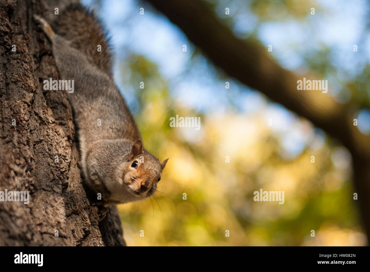 Beautiful cute squirrel in Hyde Park in London walking on the branch of a tree at sunset - Stock Image