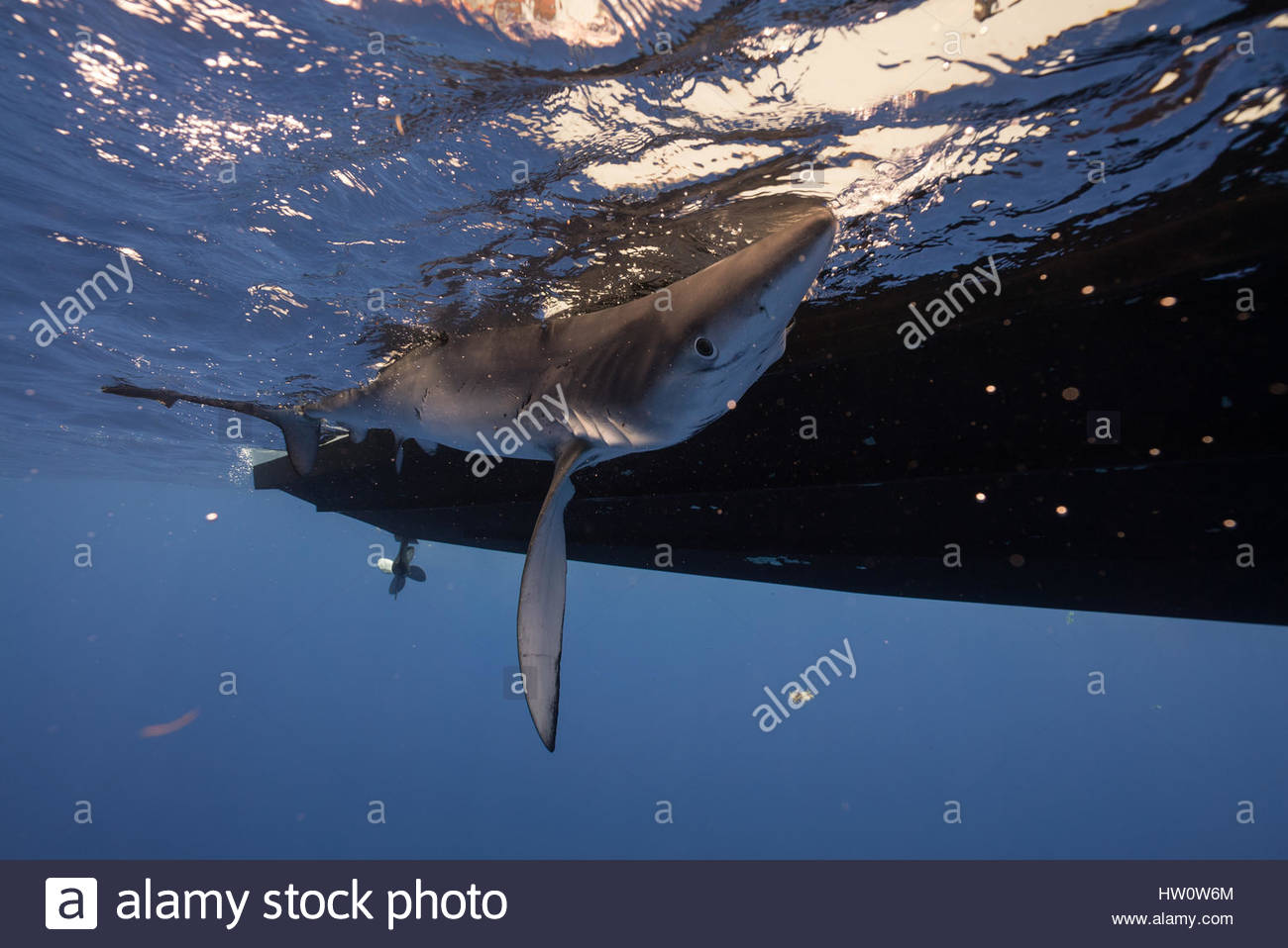 A blue shark being tagged from the side of a boat off of Cat Island in the Bahamas. Stock Photo
