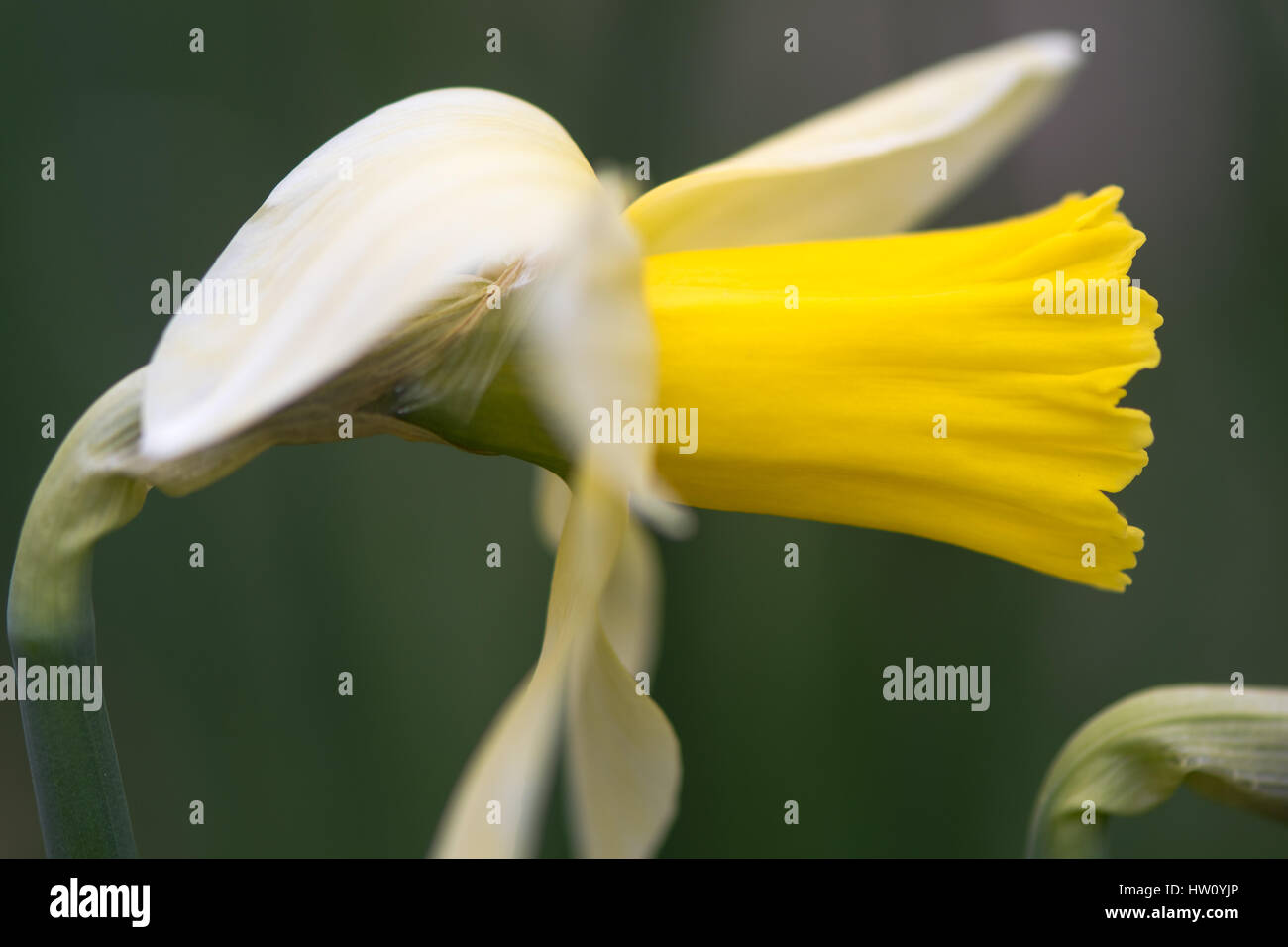 Daffodil Narcissus February Silver flower. Yellow and white flower of spring perennial plant in the Amaryllidaceae - Stock Image