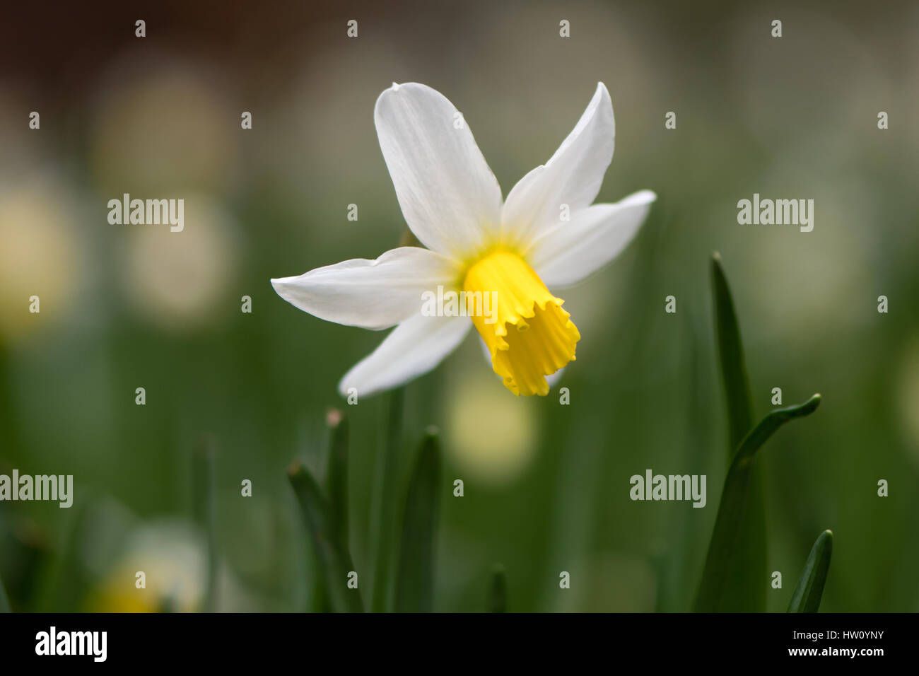 Daffodil Narcissus February Gold flower. Yellow and white flower of spring perennial plant in the Amaryllidaceae - Stock Image