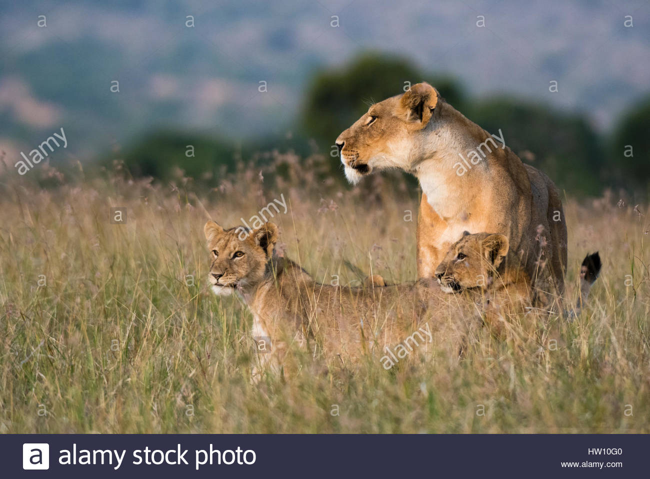 A lioness, Panthera leo, greeted by the her cubs upon her return, Masai Mara, Kenya. - Stock Image