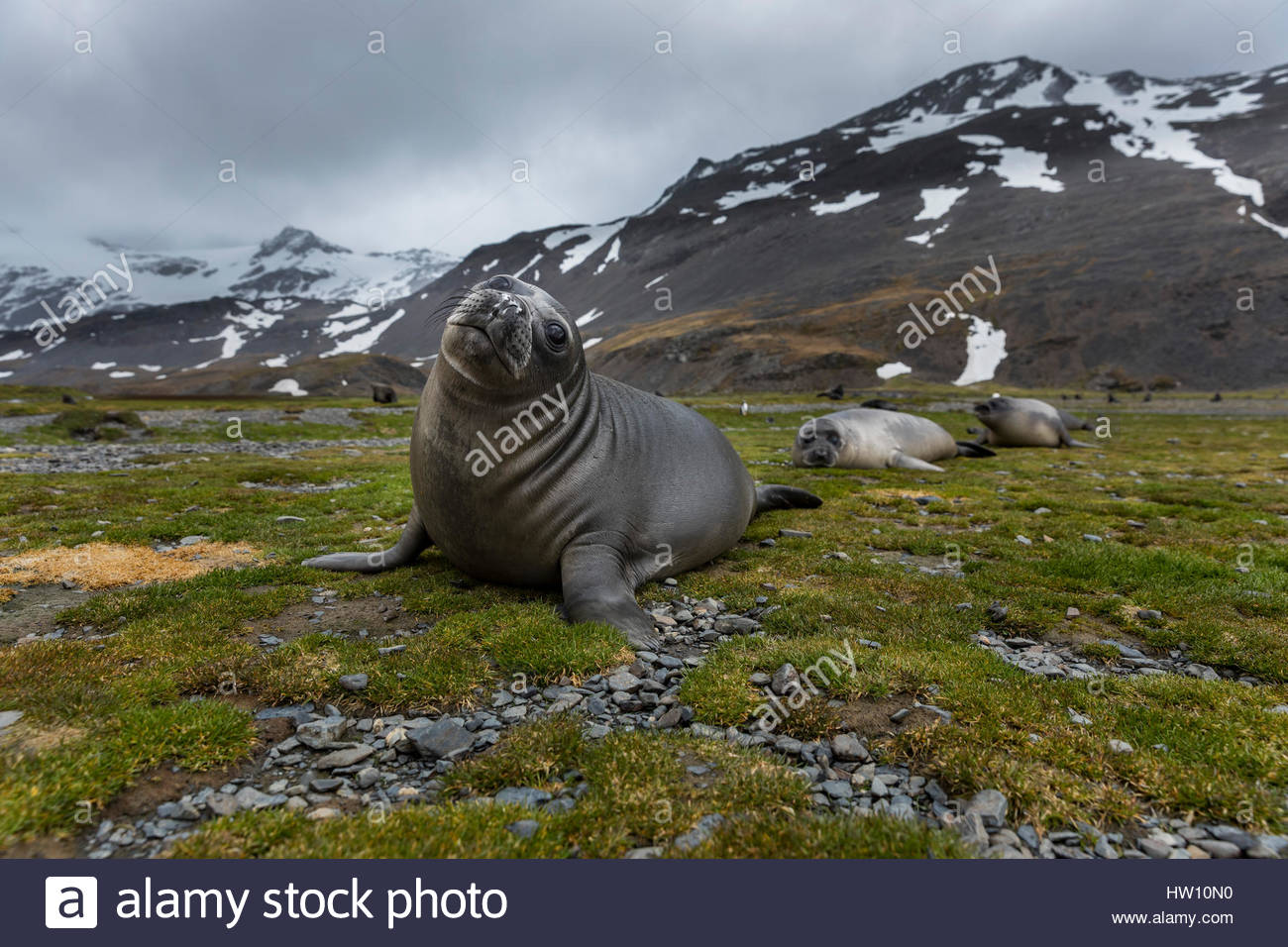 Three elephant seal pups lie in a row on grass. - Stock Image