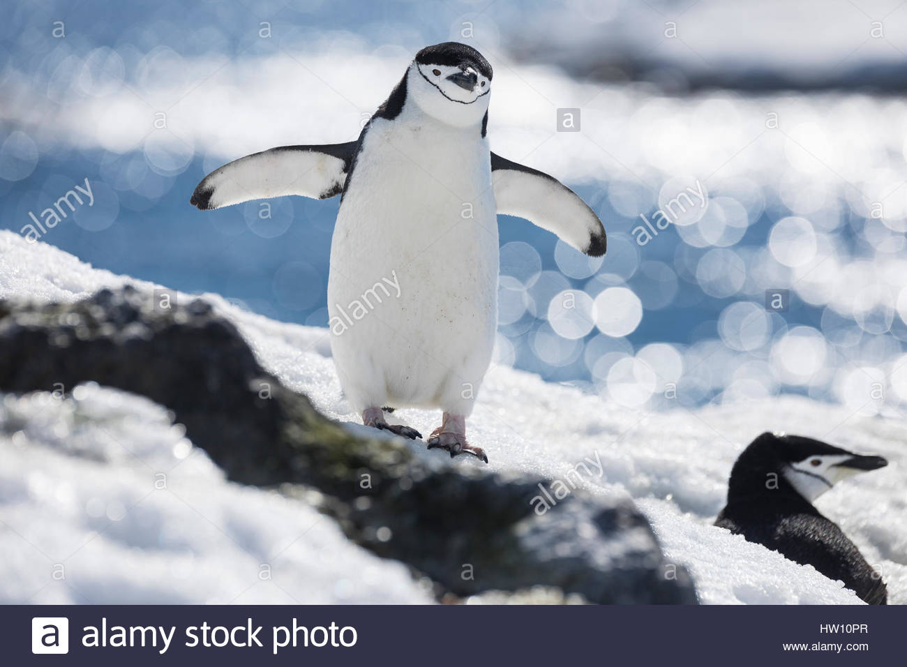A chinstrap penguin stands near another penguin in the snow. - Stock Image