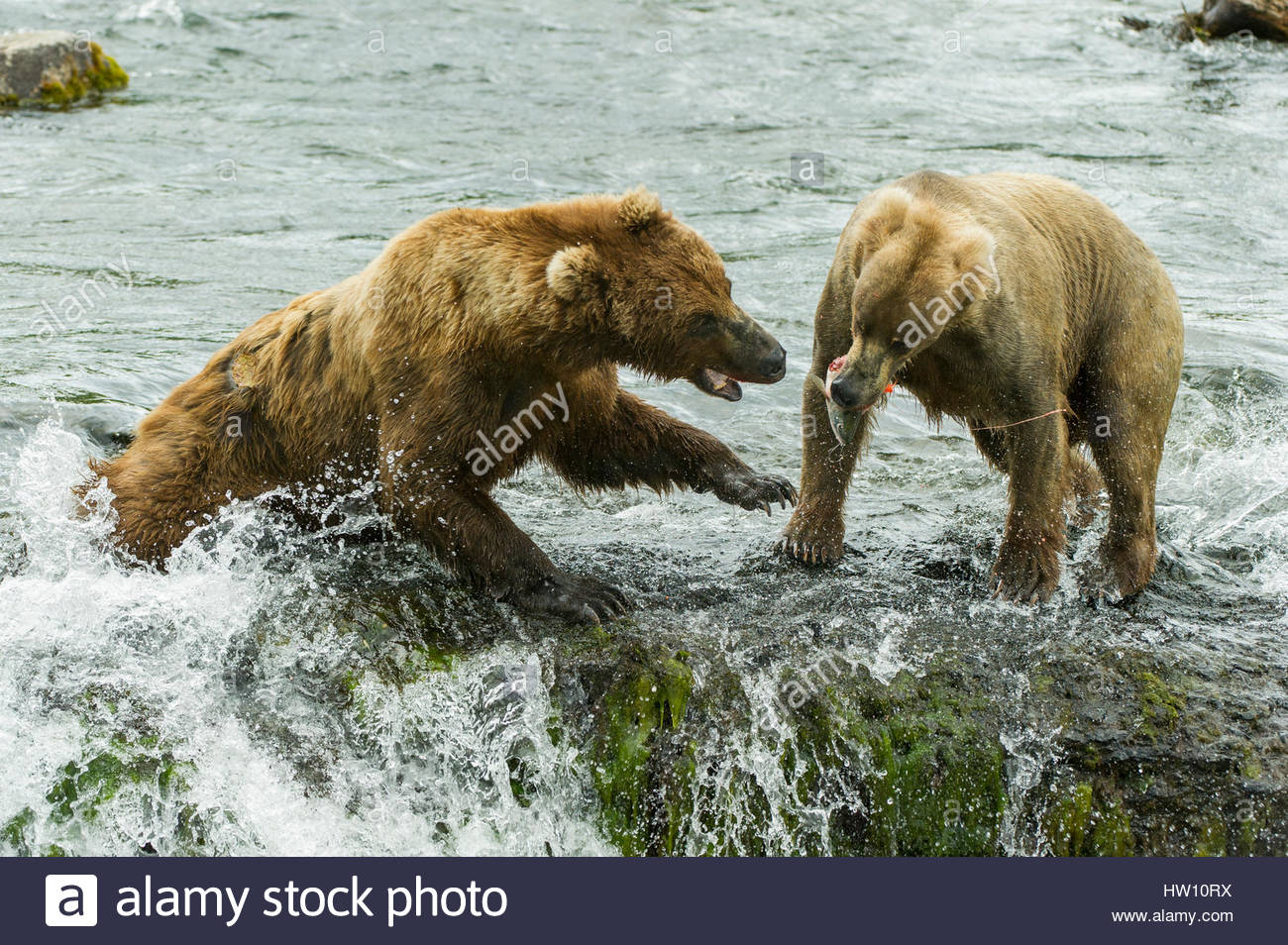 Two grizzly bears fight over a salmon in the river. - Stock Image