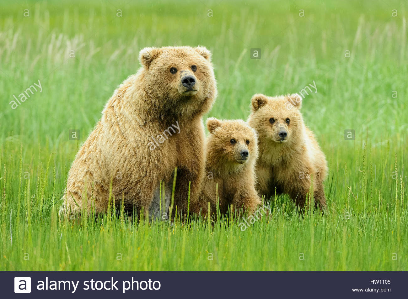 A grizzly bear family sits closely together. - Stock Image