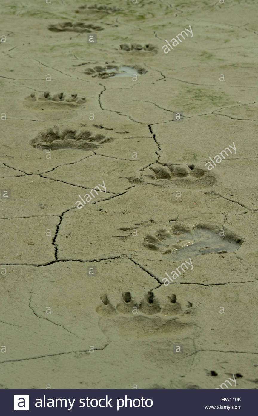 Close-up of grizzly bear tracks in thick mud. - Stock Image