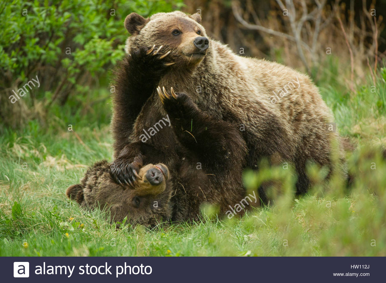 A grizzly bear cub pushes down with large paws on its mother's face. - Stock Image