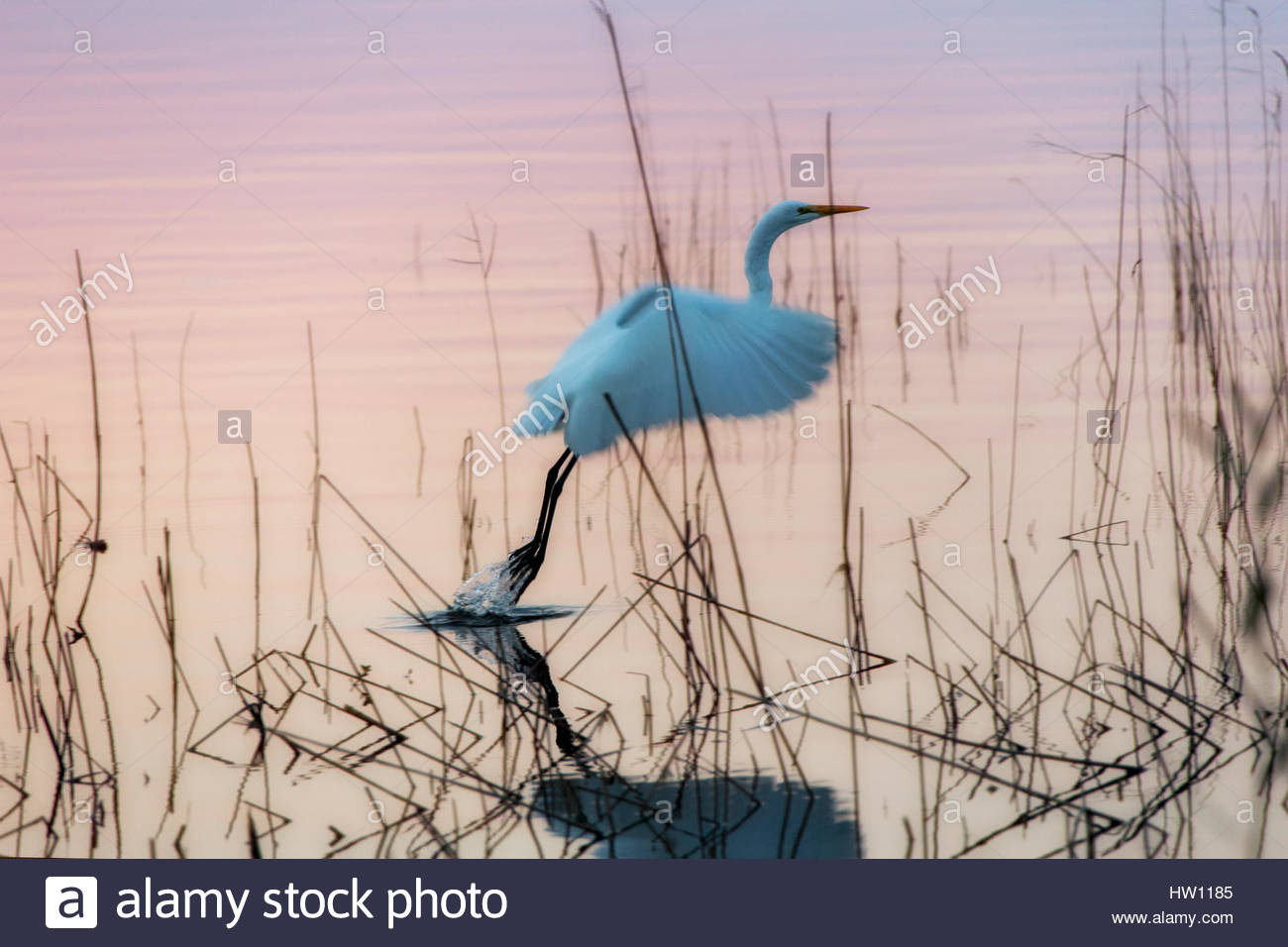 The great egret, Ardea alba, hops out of the water with a gentle flap of its wings. - Stock Image