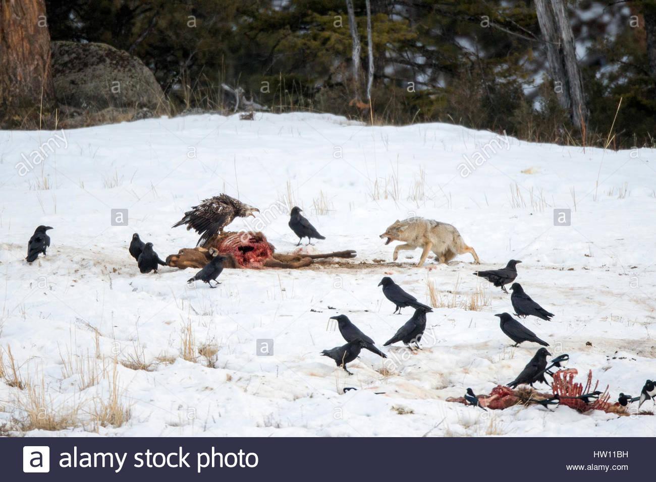 A coyote, Canis latrans, snarls at a juvenile bald eagle eating fresh kill. - Stock Image