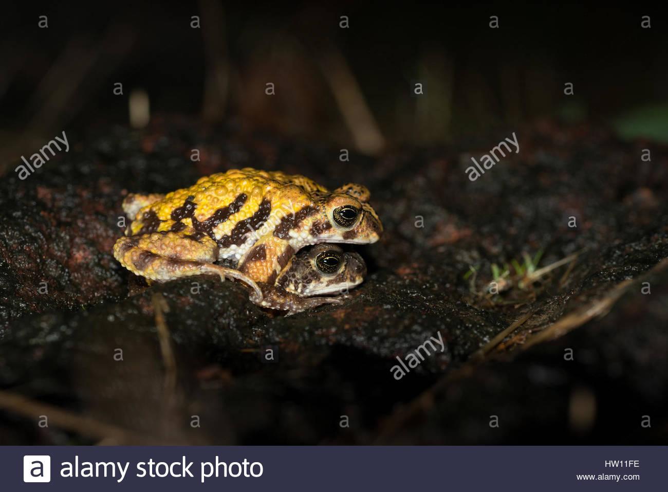 Tiger toads, Xanthophryne tigerina, mating. - Stock Image