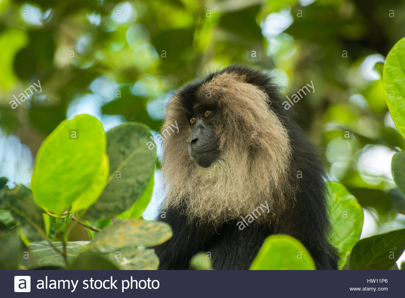 A Lion tailed macaque, macaca silenus, sits on a tree top. - Stock Image