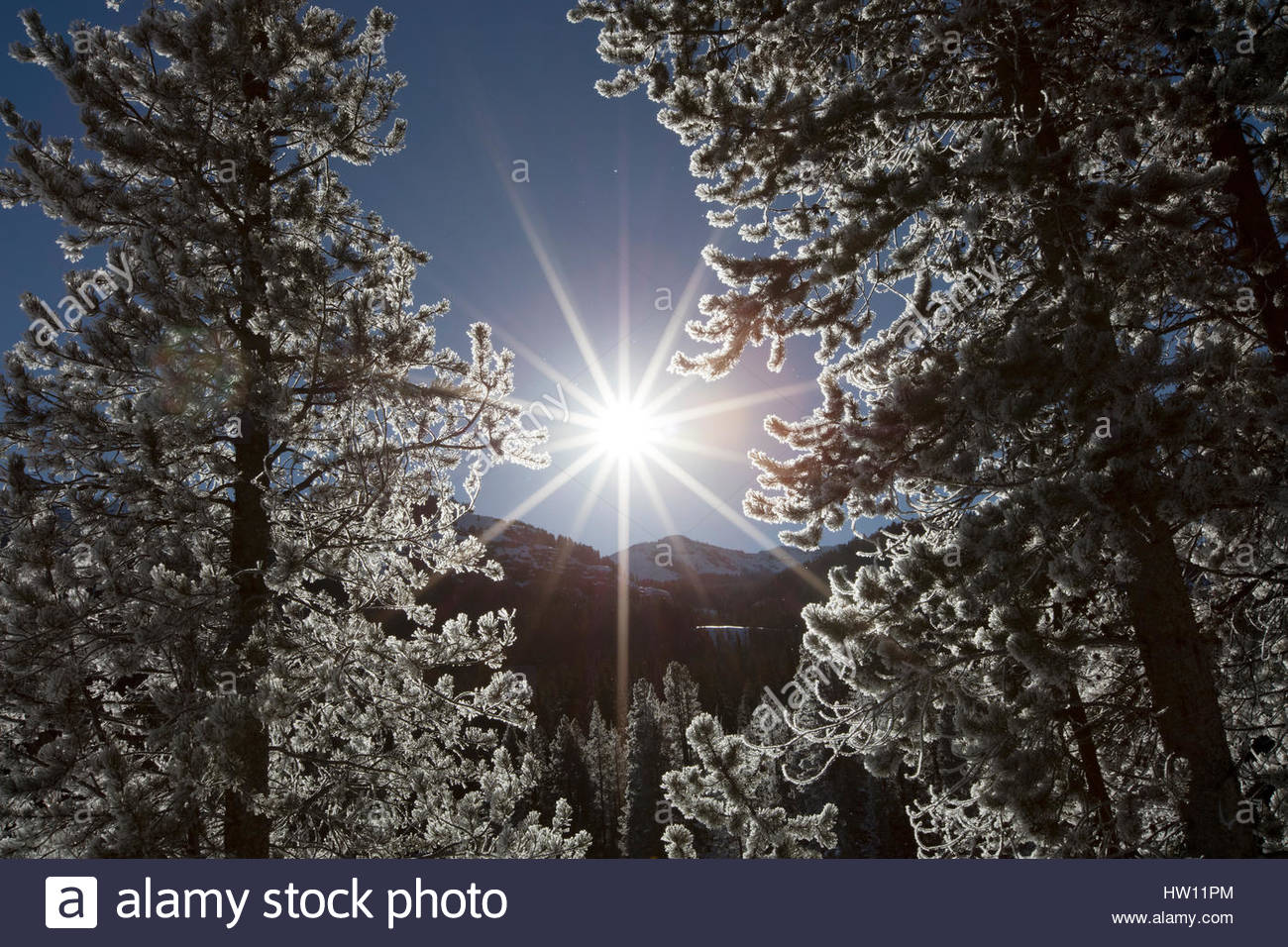 The bright sun shines through a pair of frost covered pines. - Stock Image