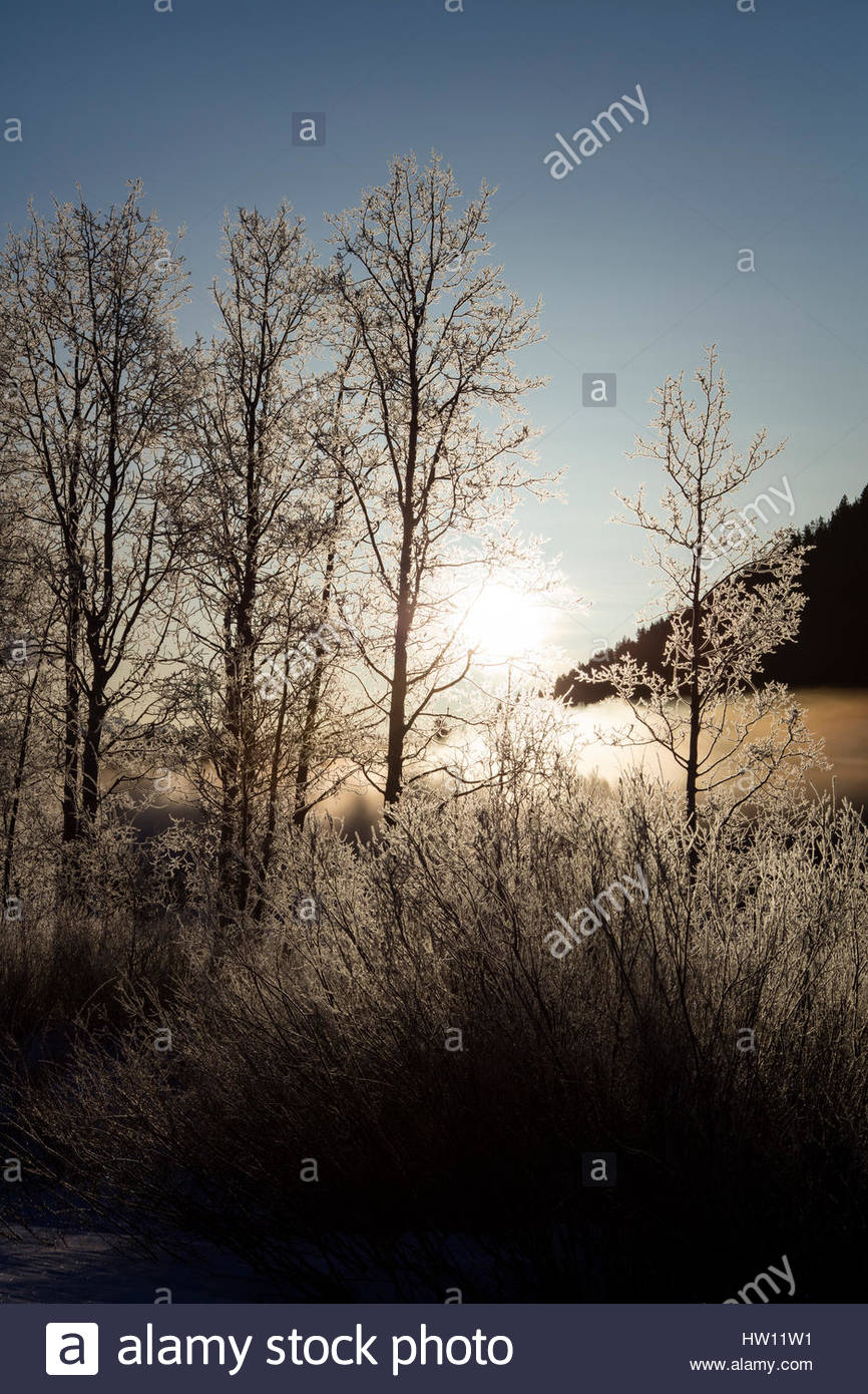 Sun shines through barren trees and bushes that are coated with frost. - Stock Image