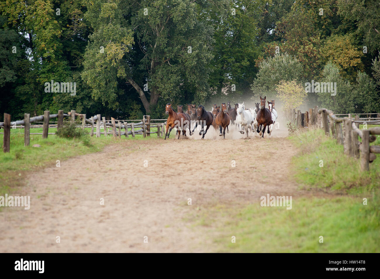 horses galloping - thoroughbred horse farm - Stock Image