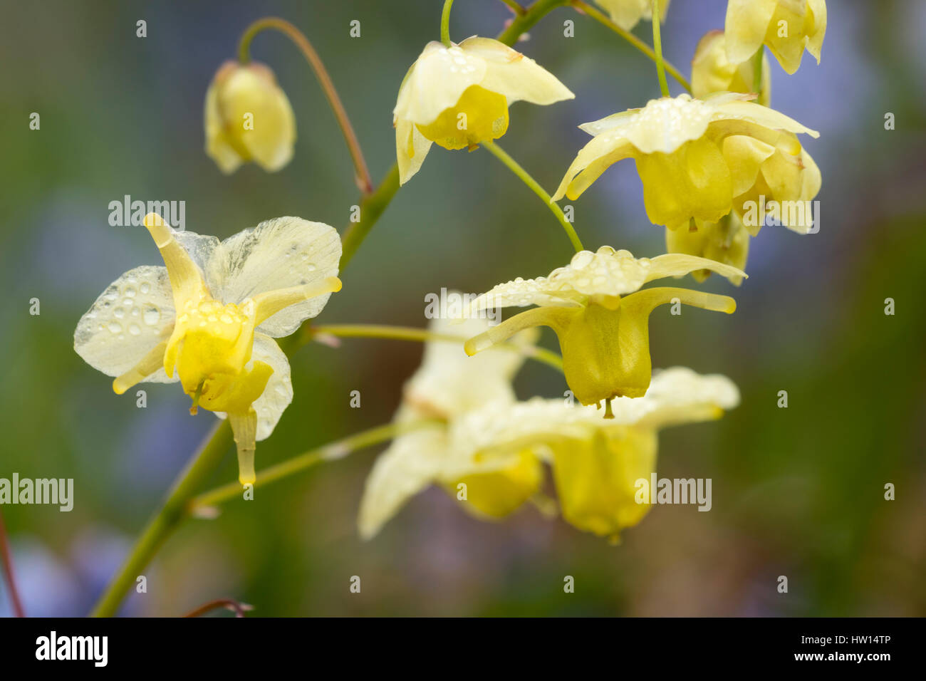 Early Spring Flowers Of The Yellow Bloomed Perennial Epimedium X