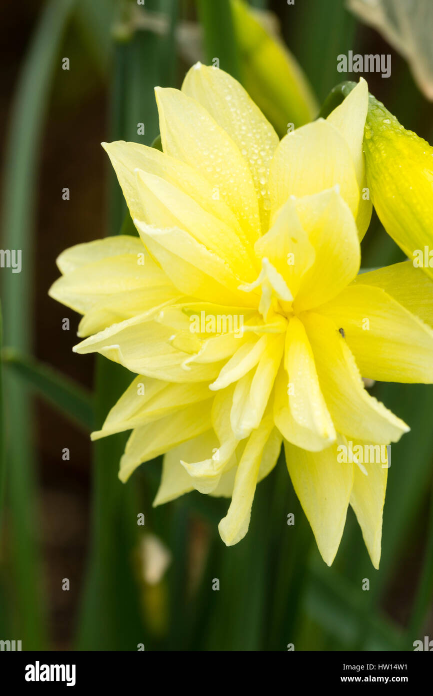 Close up of the pale yellow double flower of the heritage daffodil variety, Queen Anne's double, Narcissus 'Eyestettensis' - Stock Image