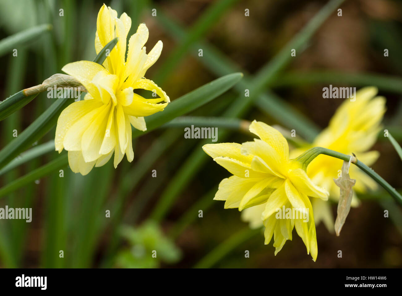 Pale yellow double flowers of the heritage daffodil variety, Queen Anne's double, Narcissus 'Eyestettensis' - Stock Image