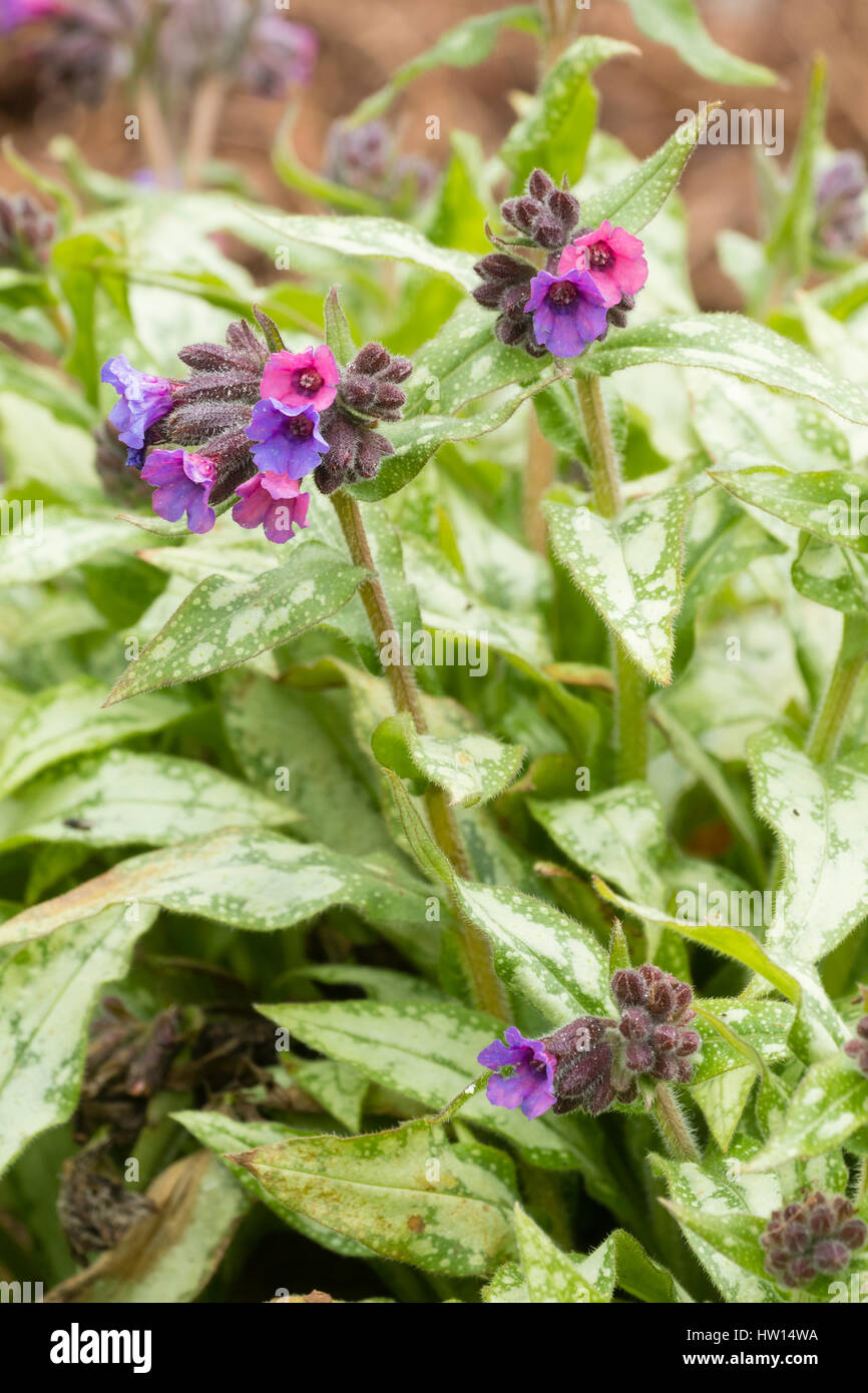Silvered foliage and red fading to blue flowers of the hardy perennial lungwort, Pulmonaria 'Silver Surprise' - Stock Image