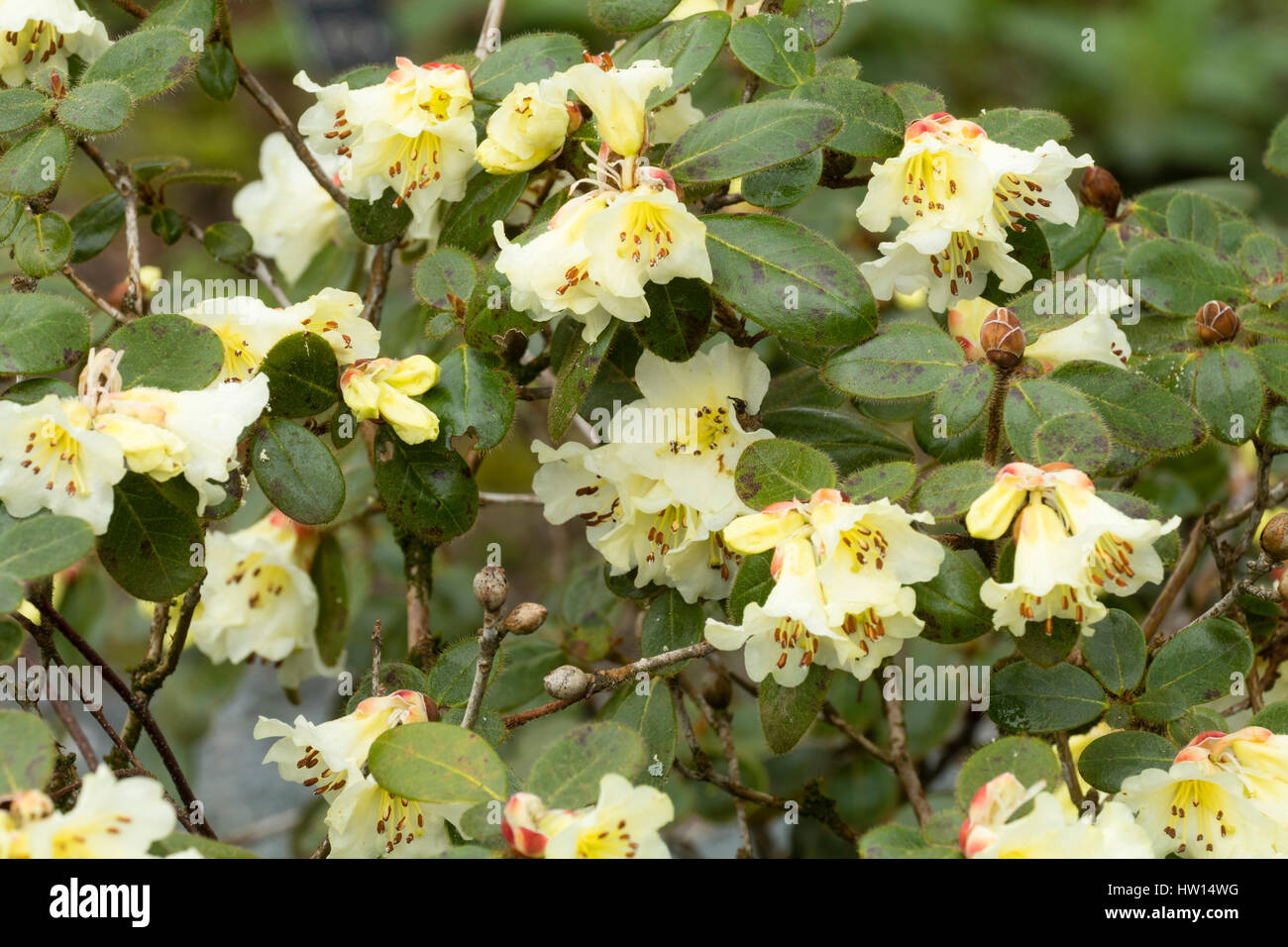 Pale Yellow Flowers Of The Early Spring Flowering Evergreen Shrub