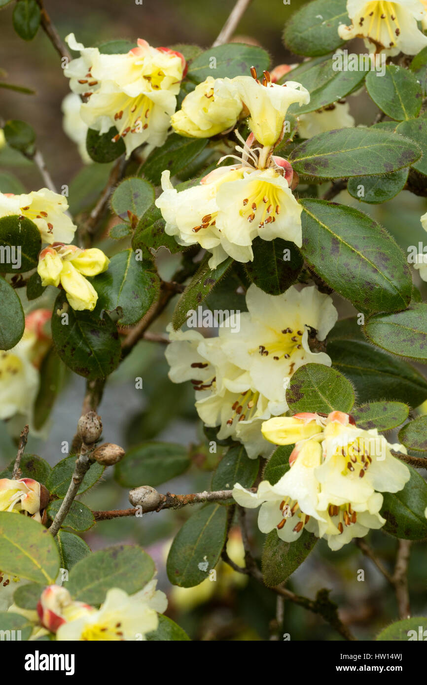 Yellow flowering shrub stock photos yellow flowering shrub stock pale yellow flowers of the early spring flowering evergreen shrub rhododendron leucaspis stock image mightylinksfo