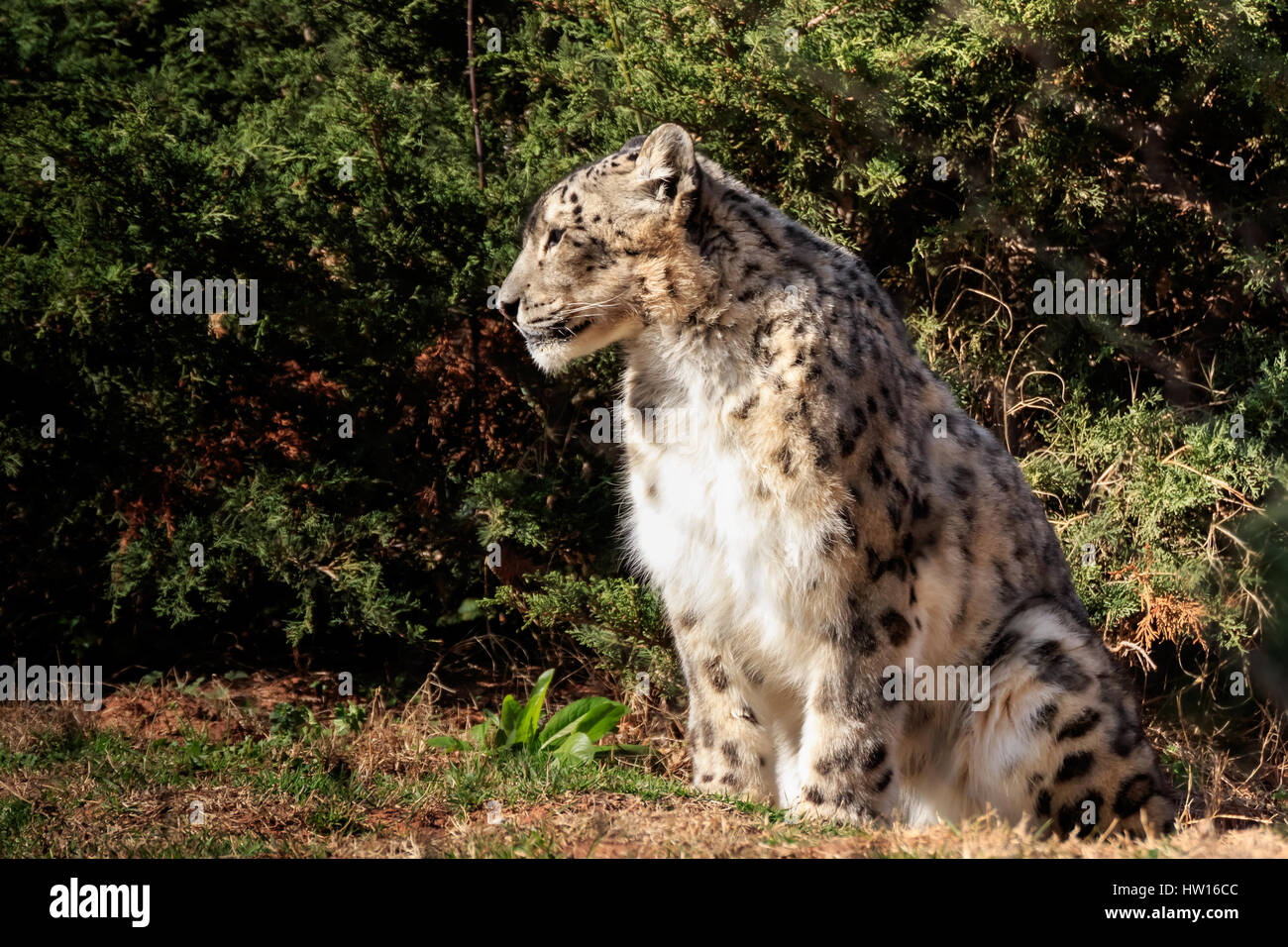 A dignified Snow Leopard enjoys the warm sun on a cold morning Stock Photo
