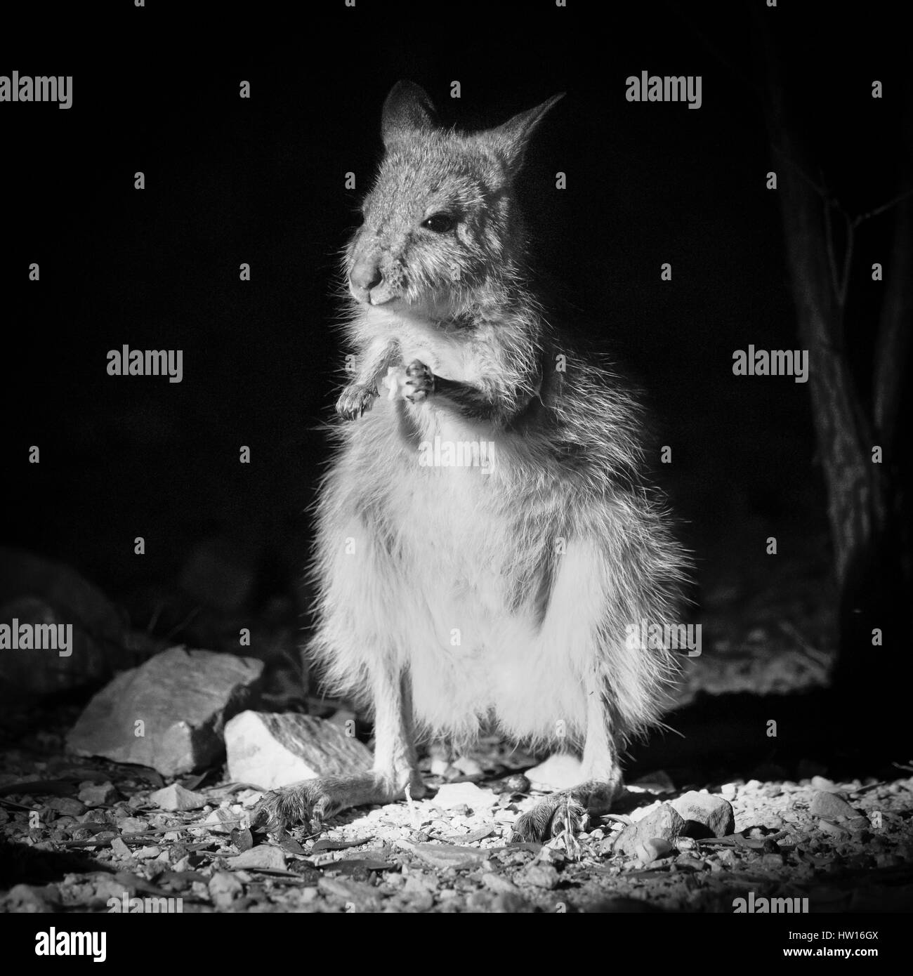 Spectacled Hare-wallaby (Largorchestes conspicillatus) - Stock Image